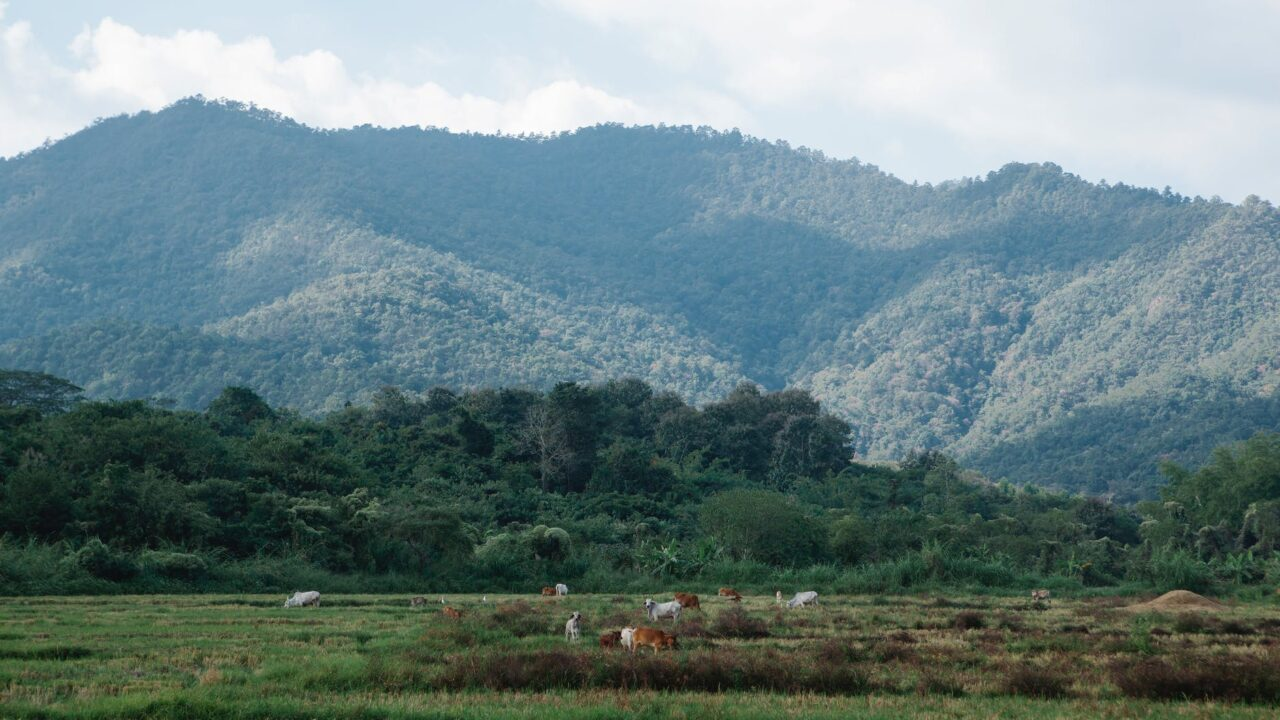 cows grazing in pasture against high green mount